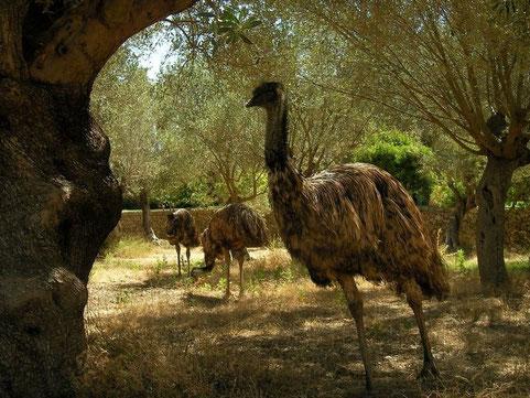 Emoe's (Dromaius novaehollandiae)