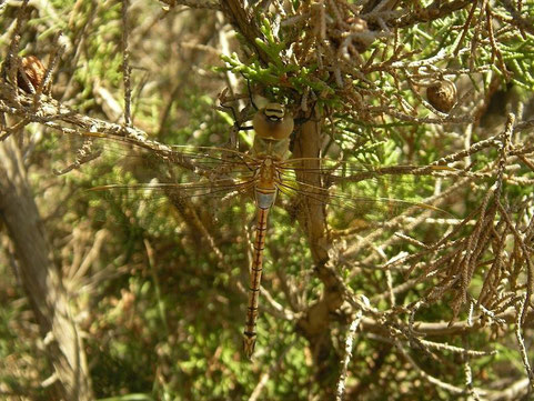 Zadellibellen (Anax ephippiger)