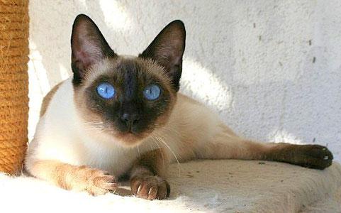 Thaikatze sealpoint, Bildquelle: © Cattery: Thaikatzen-vom-blauen-halbmond