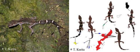 2011年に分布が報告された屋我地島のクロイワトカゲモドキ(左)クロイワトカゲモドキの5亜種と分布島嶼(右)。愛くるしい横顔にやられてしまいます。