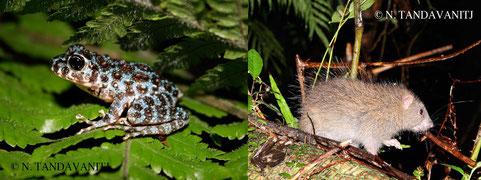 フィールドでのちょっとした出会い。イシカワガエルの幼体(左)ケナガネズミ(右)