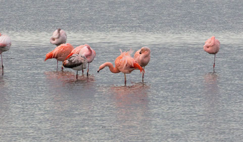Flamingos am Grevelingenmeer