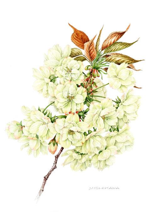 ウコン 〈鬱金〉Cerasuus serrulata 'Grandifiora'       455mm×305 mm