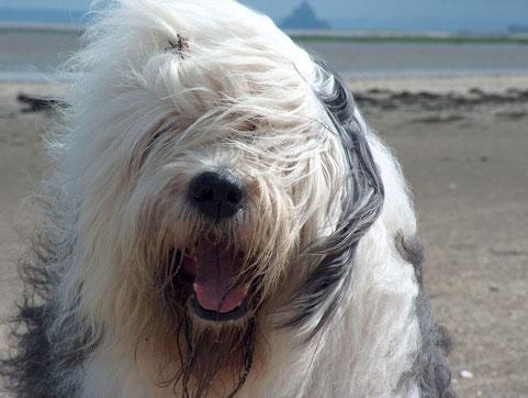 disegno bobtail-foto cane bobtail-allevamento dei Nobilpazzi di Susanna Malacrida-foto old english sheepdog