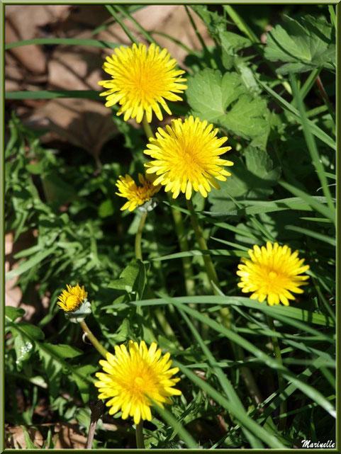 Bouquet de Pissenlits, flore Bassin d'Arcachon (33)