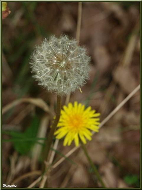 Akène et fleur de Pissenlit, flore Bassin d'Arcachon (33)