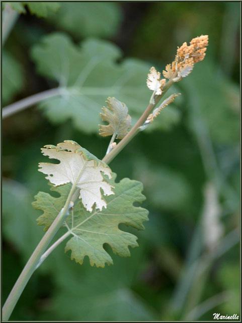 Macleaya cordata ou Bocconie à feuilles en coeur ou Plume Poppy
