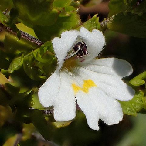 イズコゴメグサの花の正面-2