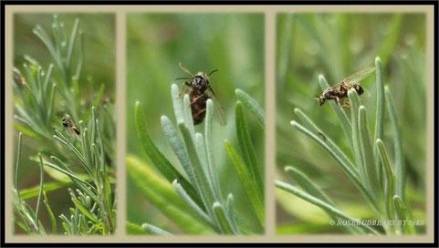 geflügelte Ameise