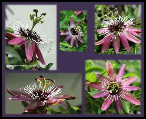Passionsblume Passiflora
