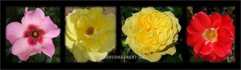 ganz links eine rosafarbene Rosa-Persica