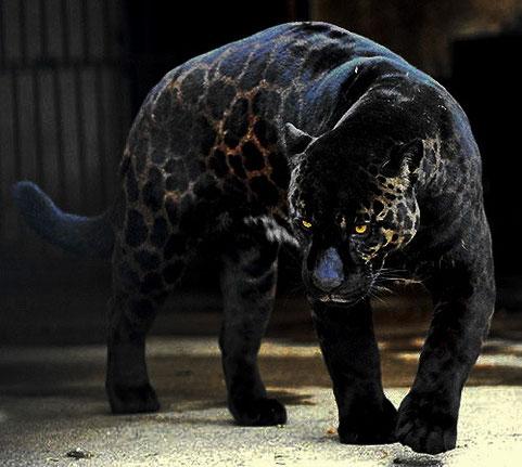 """PANTHERE NOIRE (""""leopard mélanistique"""")"""
