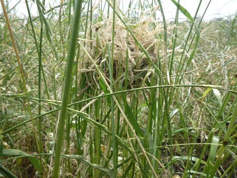 2013年6月5日。低水敷のイネ科雑草地