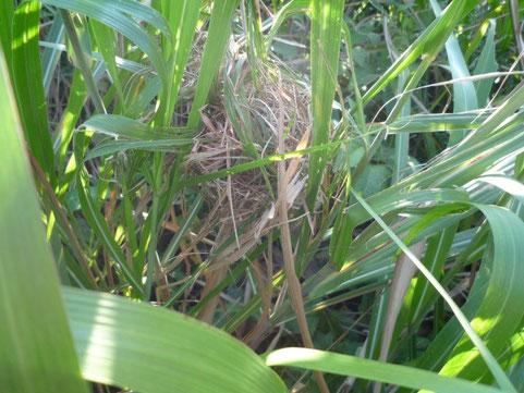 2012年9月26日。オギの巣