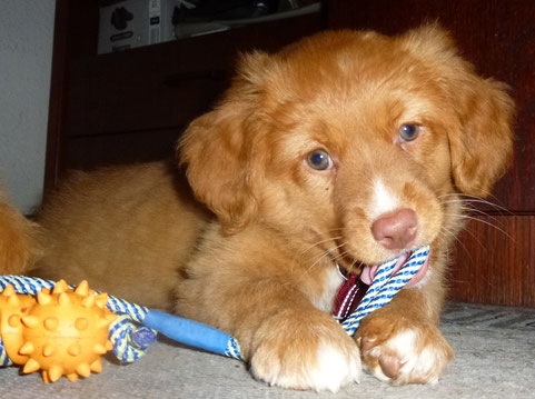 Nova Scotia Duck Tolling Retriever Nita