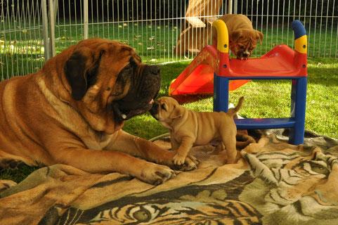 """Oscar mit seinem Ziehonkel Mastiff Theo """" Puh ist der groß """""""