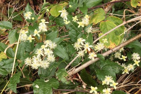 Gewöhnliche  Waldrebe - Clematis vitalba (G. Franke)