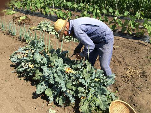 丁寧に野菜の収穫をします。