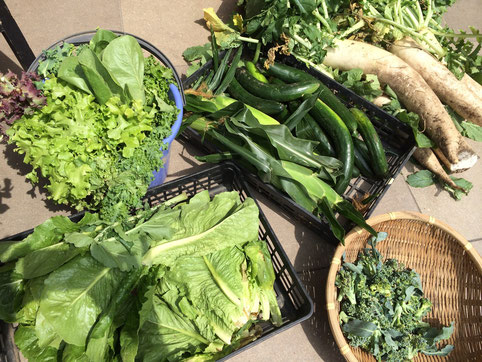 本日の懐石ランチのお野菜の収穫です。