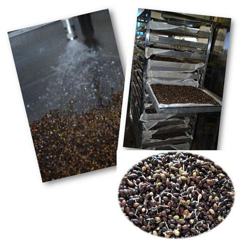 天然水での洗浄、発芽工程