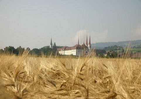 Ein Gerstenfeld in Muri - Hasli, ein goldener Rahmen für das Kloster Muri
