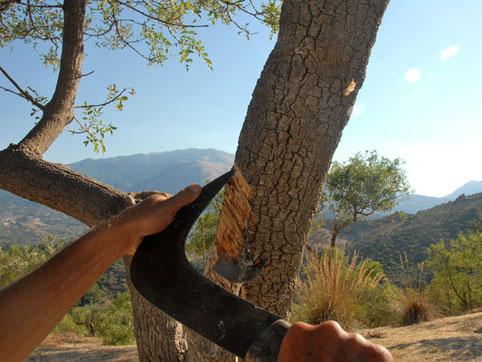 Anschneiden der Rinde (oben) und auskristallisierter Saft (unten) - Foto: © Laetitia Bourget / HOMEMADESICILY.com - Verwendung mit freundlicher Genehmigung.