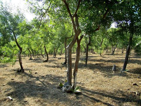 """Schmuck-Eschen-Plantage zur Gewinnung von """"Manna"""" auf Sizilien - Foto: © Laetitia Bourget / HOMEMADESICILY.com - Verwendung mit freundlicher Genehmigung."""