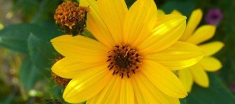 Helianthus-Staudensonnenblume