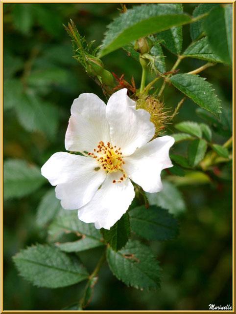 Eglantier ou Eglantier des Chiens ou Rosier des Haies ou Rosier des Chiens ou Rosa Canina, flore Bassin d'Arcachon (33)