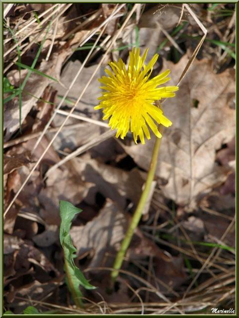 Fleur de Pissenlit de profil, flore Bassin d'Arcachon (33)