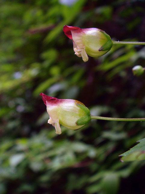 サツキヒナノウスツボの花冠の長さは9〜11mm。 ヒナノウスツボ(7〜9mm)より大きかった