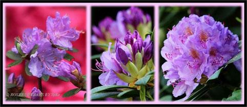 Rhododendren und Azaleen - viel zu schnell verblüht