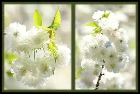 Hannover Alte Bult Hiroshima-Gedenkhain weiße Zierkirschenblüten