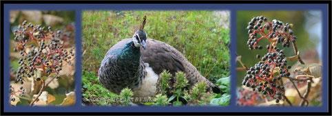 Blauer Pfau Vogelpark Walsrode Pfauenhenne