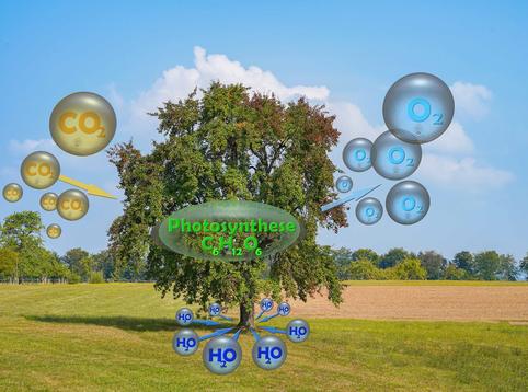 Photosynthese: Aus Kohlendioxid (CO²) und Wasser (H²0) und Sonnenlicht wird Zucker (und daraus Holz) und Sauerstoff (O²) erzeugt. (Grafik: Dr. G. Strobel)