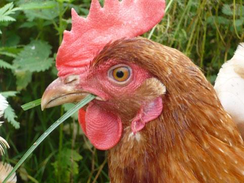 Glückliches Huhn vom Gallina Hühnerhof aus Uslar.