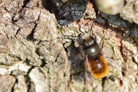 Gehörnte Mauerbiene (Foto. naturgucker.de [S. Mielke])