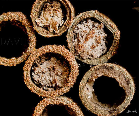 Milbe Chaetodactylus osmiae Mauerbiene Parasit Pappröhrchen Verschlußdeckel  insect nesting aid insect hotel  parasite mite red mason bee