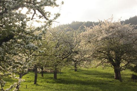 Wanderbeginn bei Loffenau - es geht entlang von blühenden Obstbäumen (G. Franke)