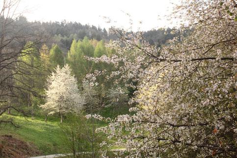 Frühling - zwischen Loffenau und Lautenbach (G. Franke, 06.04.2017)