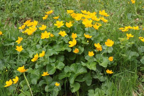Im Igelbachtal blühen Sumpf-Dotterblumenm, Caltha palustris (G. Franke)