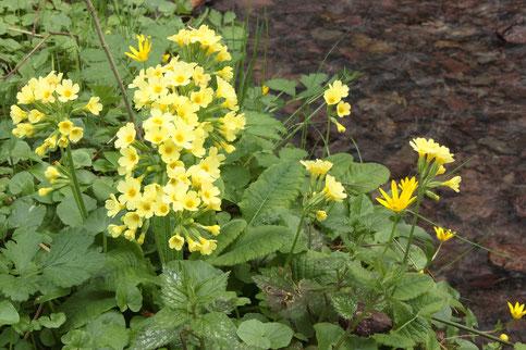 Hohe Schlüsselblume - Primula elatior, an der Pfinz zwischen Ittersbach und Pfinzweiler (G. Franke, 05.04.2017)