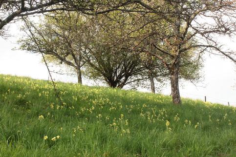 Wir sehen Streuobstwiesen voller Hoher Schlüsselblumen, Primula elatior (G. Franke)