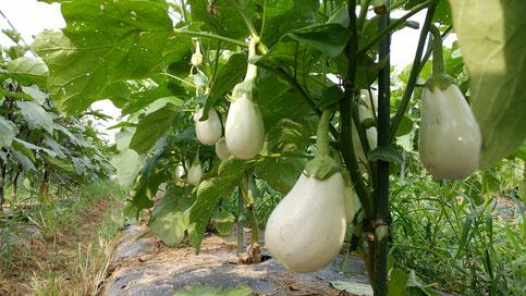 ミモレ農園 農薬不使用 白なす 揚げてトルコ