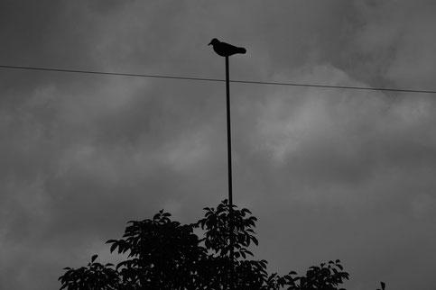 Wächterkrähen für das Lockbild bei der Krähenjagd