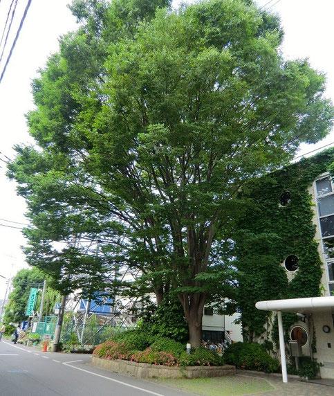 6月2日(2013) 街かどの大木(スタジオジブリの前に立っているケヤキの木:小金井市)
