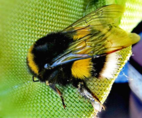 Hummel-Königin auf Nistplatzsuche von Marc Wettering, Bienenblog von K.D. Michaelis