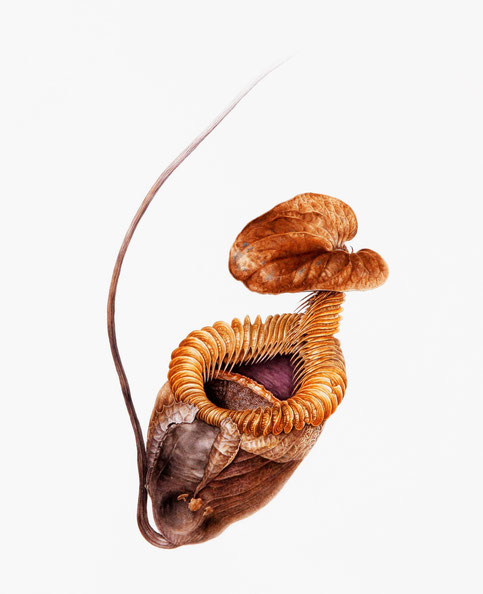 E.T.Dried Pitcher of Nepenthes villosa        400x340mm
