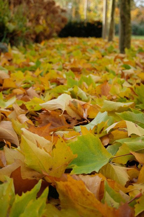 dieartigeGARTEN - Novembergarten | Platanen-Laub, Herbstlaub, goldener Herbst, Blattgold
