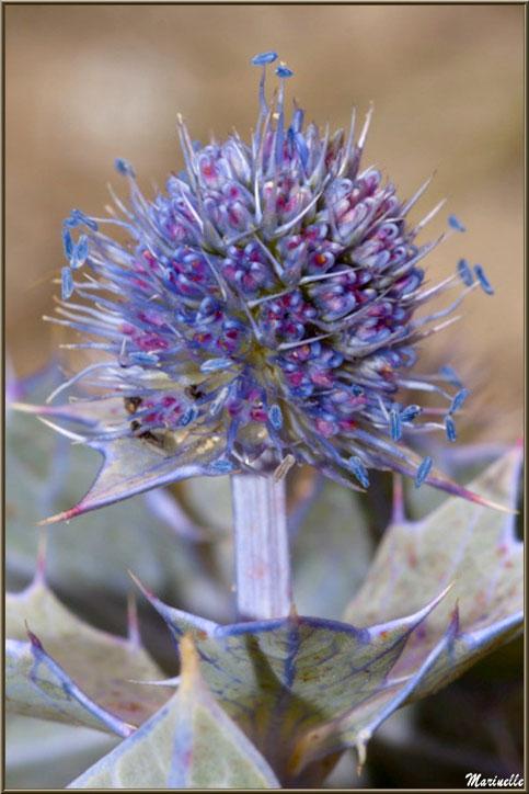 Fleur de Panicaut Maritime ou Chardon des Sables, flore Bassin d'Arcachon (33)